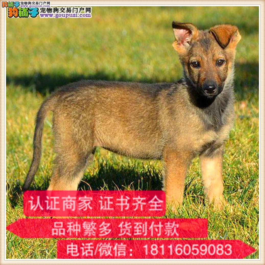 官方保障 出售纯种昆明犬 健康有保障 可签购犬协议