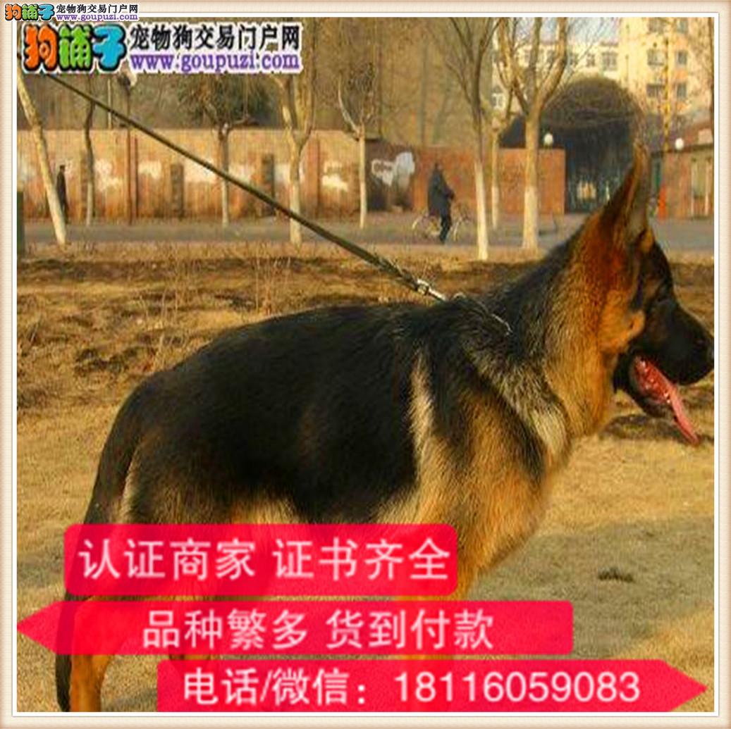 官方保障 出售纯种狼狗 健康有保障 可签购犬协议
