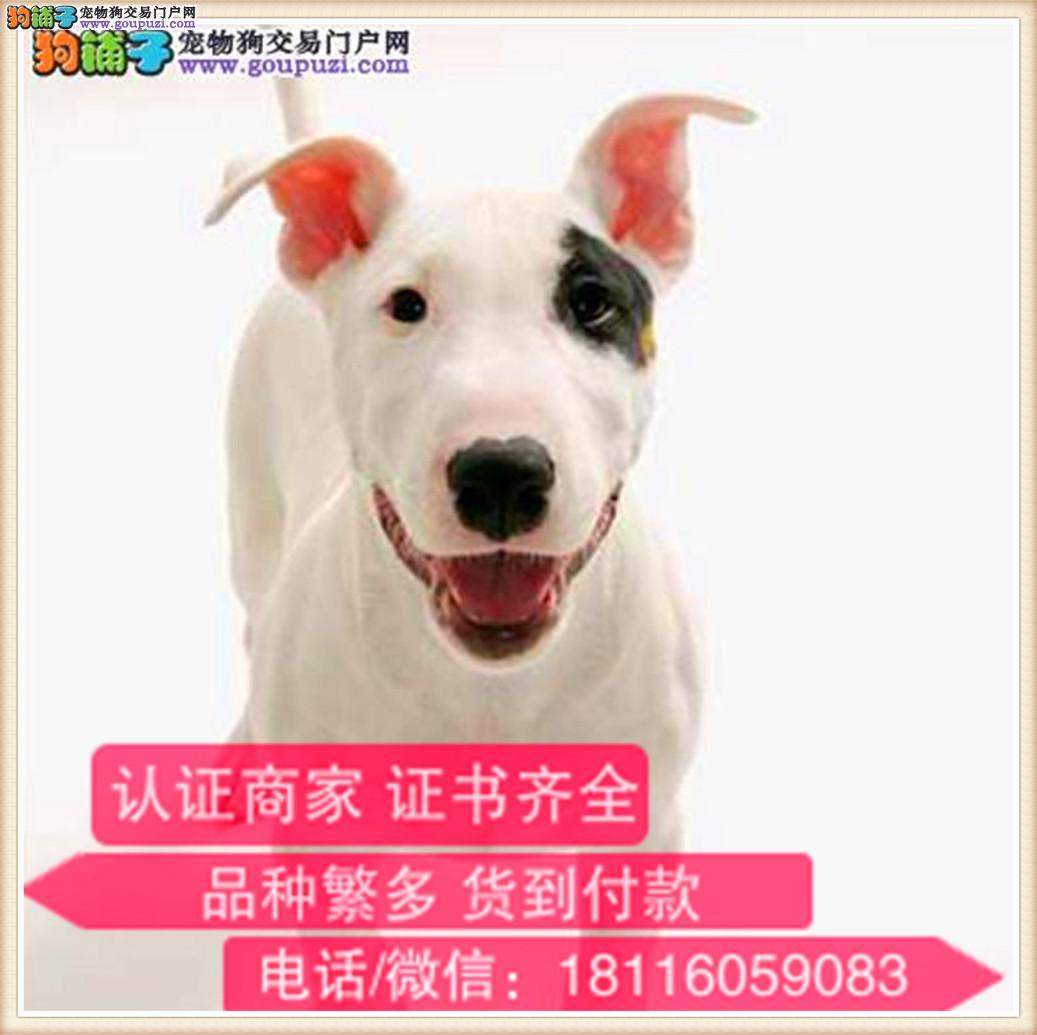 官方保障|出售纯种牛头梗 包健康有保障可签购犬协议
