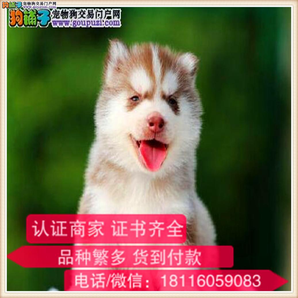 官方保障 出售纯种哈士奇 包健康有保障可签购犬协议