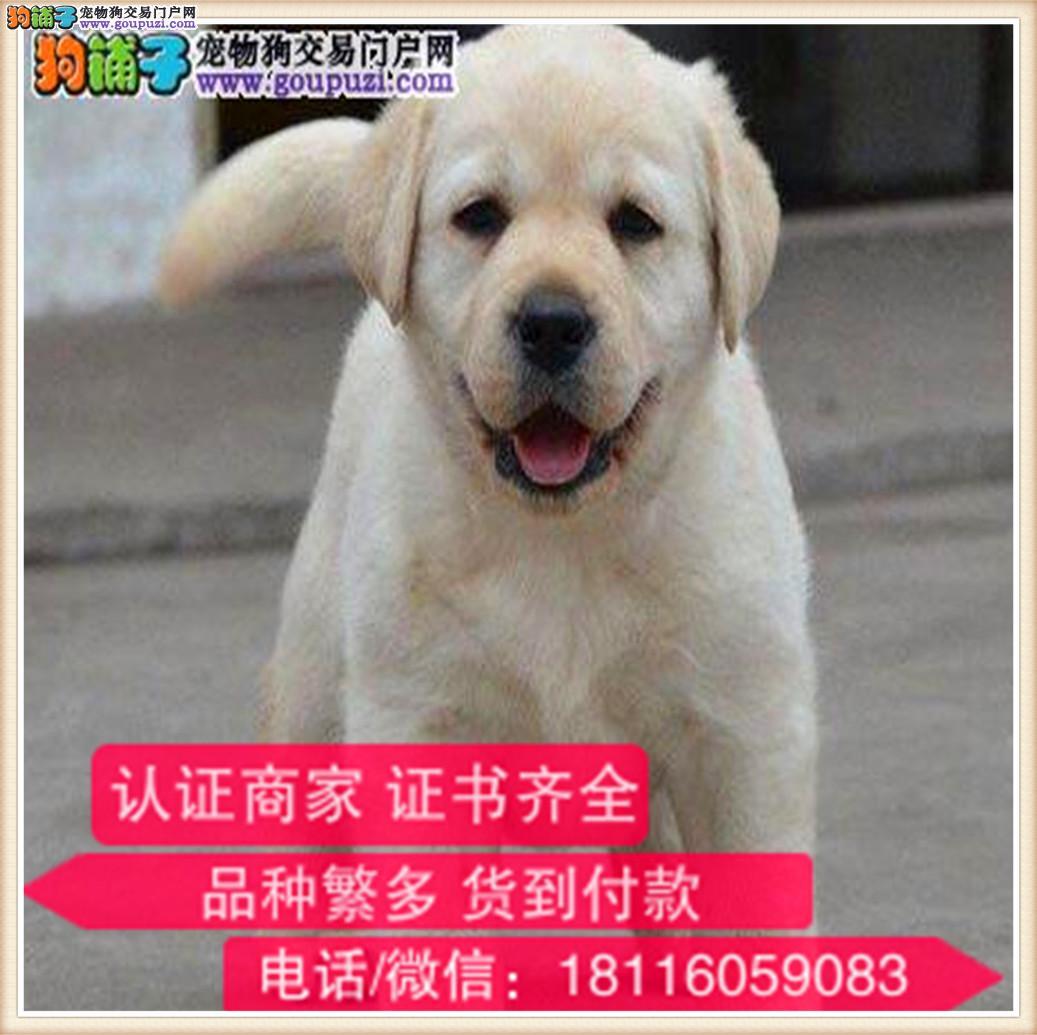 官方保障|出售纯种拉布拉多犬 包健康有保障