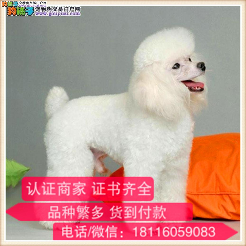官方保障|出售纯种贵宾 包健康有保障可签购犬协议