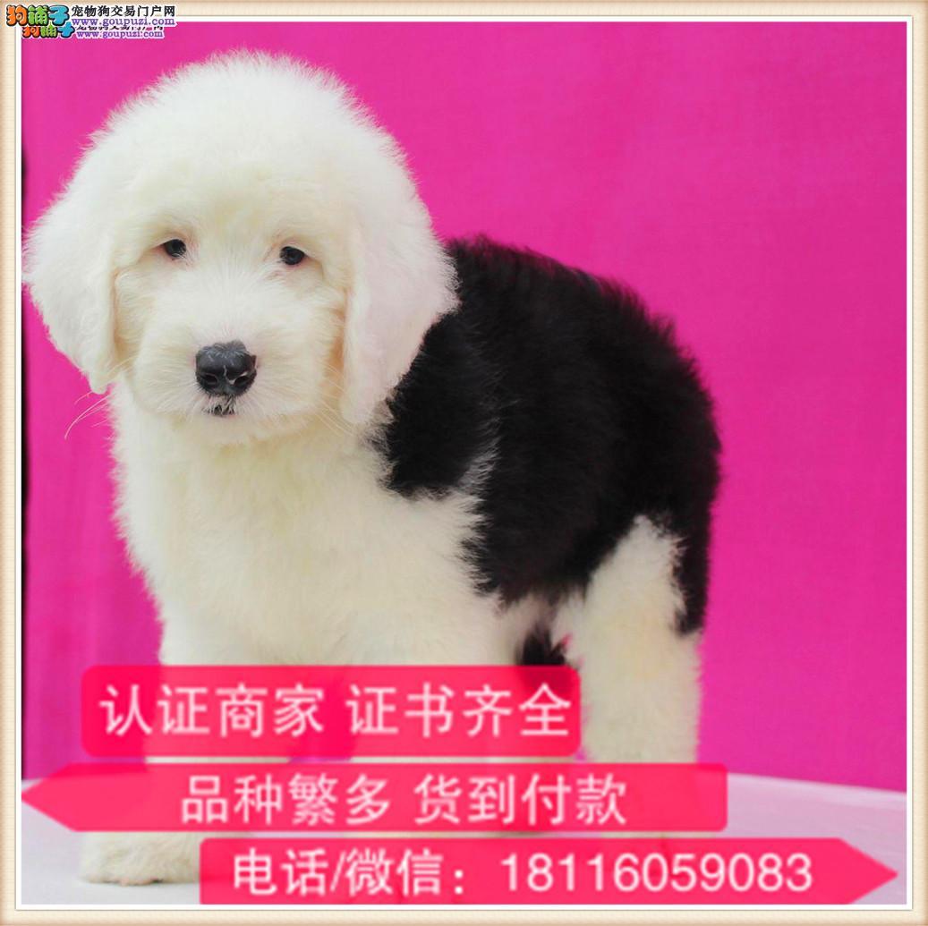 官方保障|出售纯种古牧 包健康有保障可签购犬协议