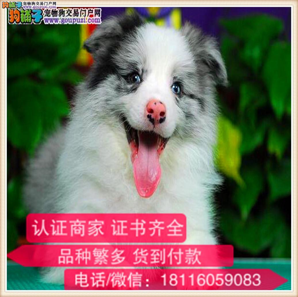 官方保障 犬舍繁殖纯种边牧 纯种健康养活 可签协议