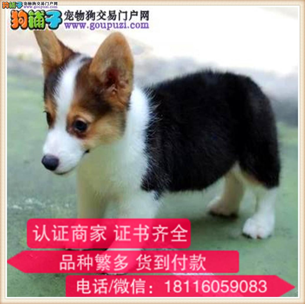 官方保障|出售纯种柯基 包健康有保障可签购犬协议