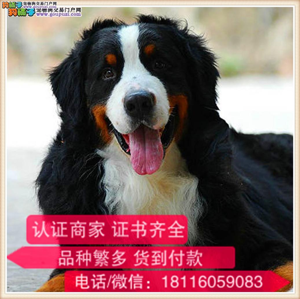官方保障|犬舍繁殖纯种伯恩山犬 纯种健康养活