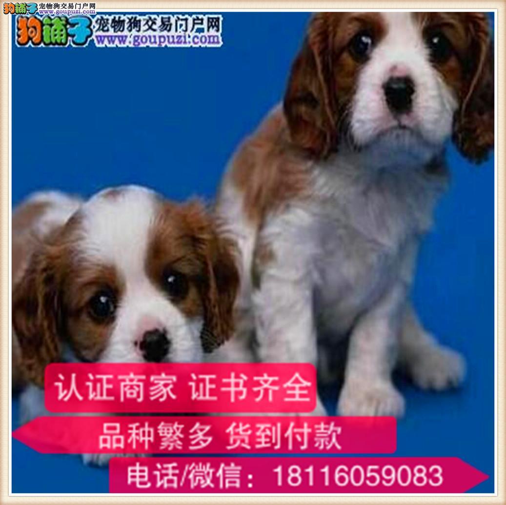 官方保障 犬舍繁殖纯种可卡犬 纯种健康养活 可签协议