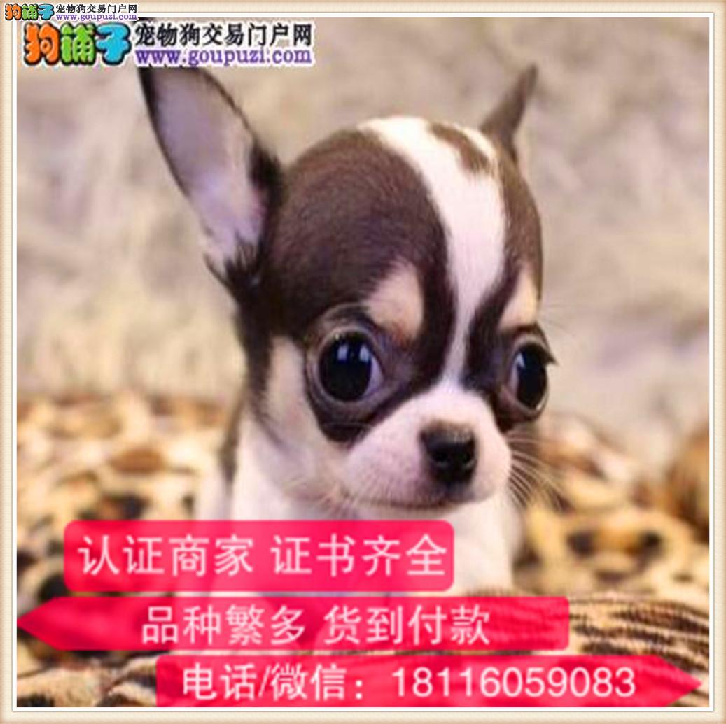 官方保障|纯种吉娃娃 包健康有保障可签购犬协议