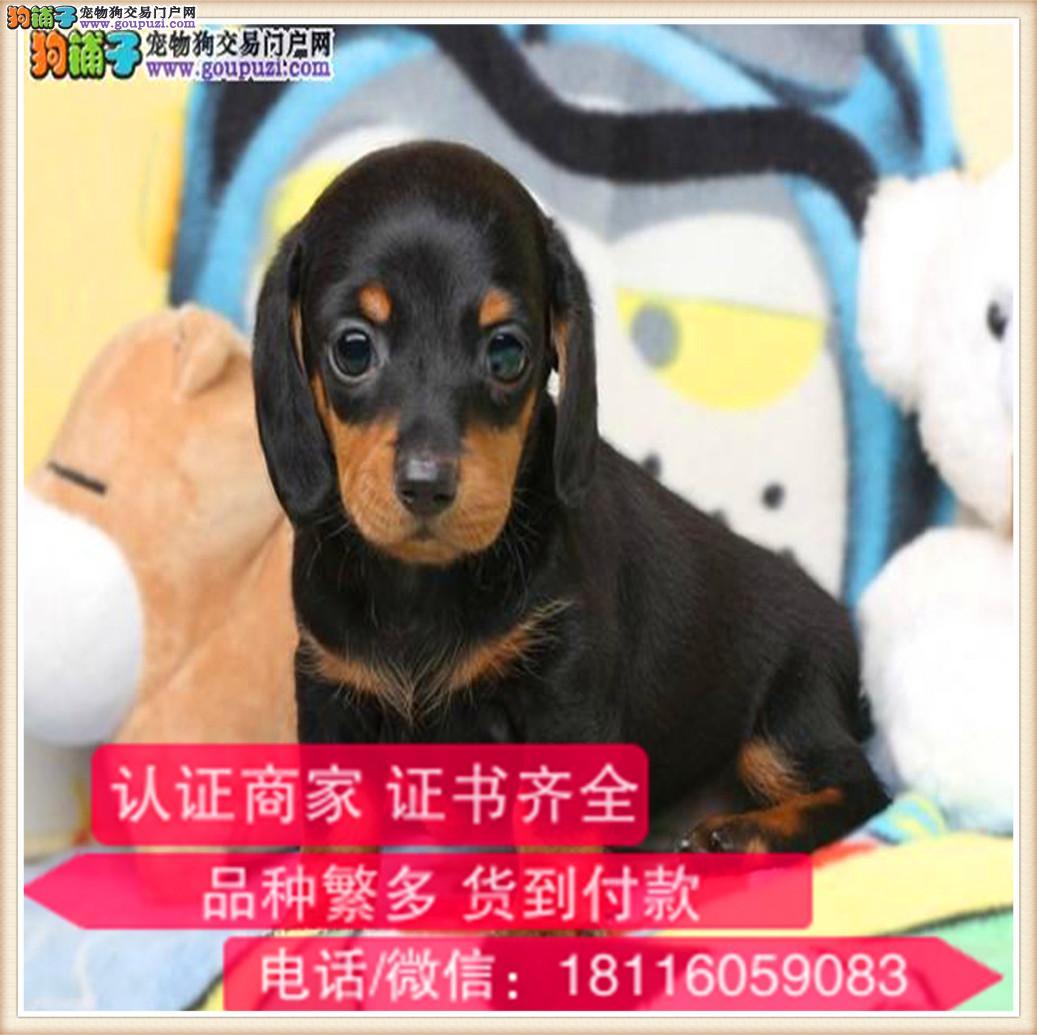 官方保障|犬舍繁殖纯种腊肠犬 纯种健康养活 可签协议
