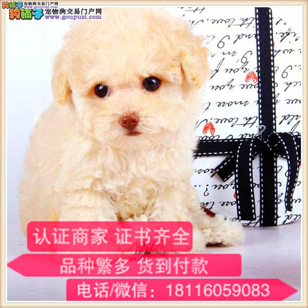 官方保障|犬舍繁殖纯种泰迪犬 纯种健康养活 可签协议