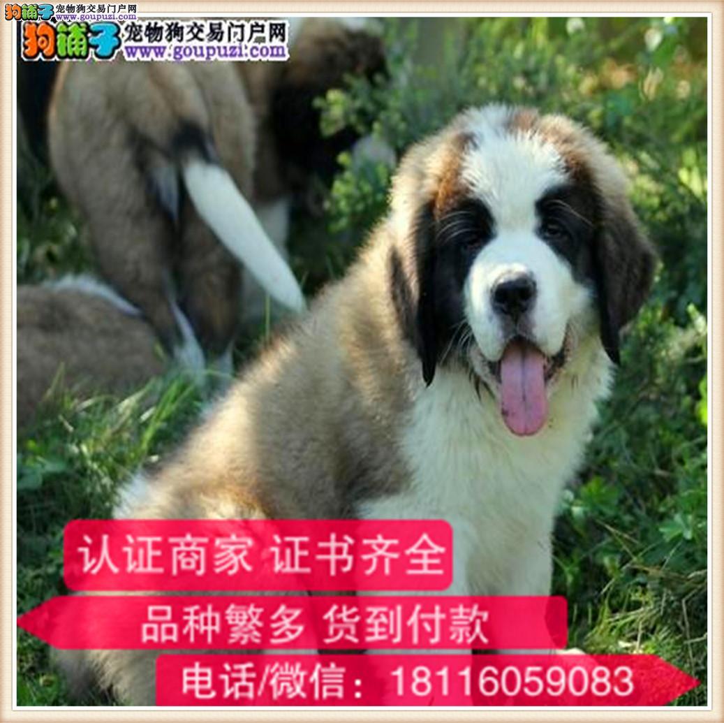 官方保障|出售纯种圣伯纳犬 包健康有保障可签协议
