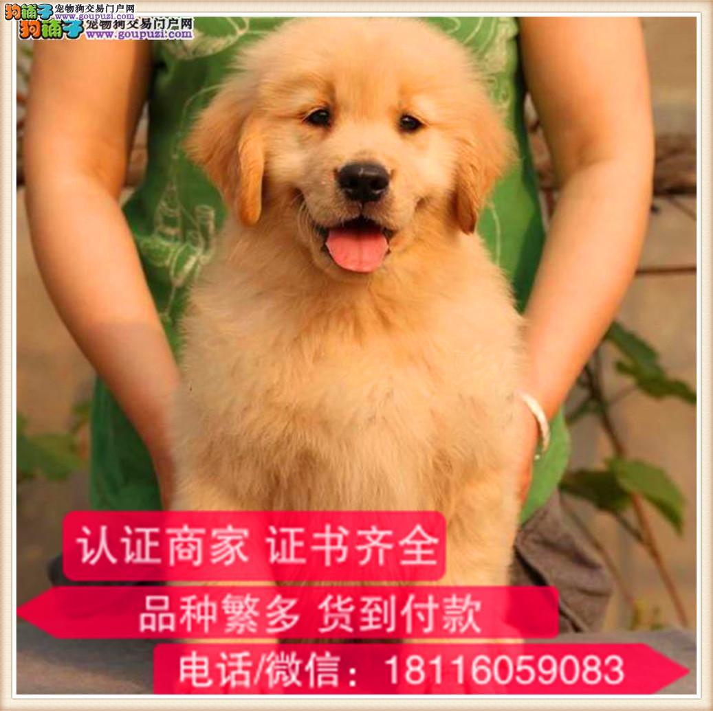 官方保障 纯种金毛犬包健康纯种出可签协议带证书