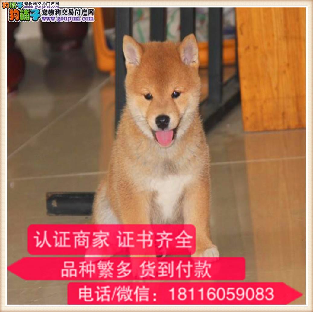 官方保障纯种 柴犬健康有保障可签协议带证书犬舍直销