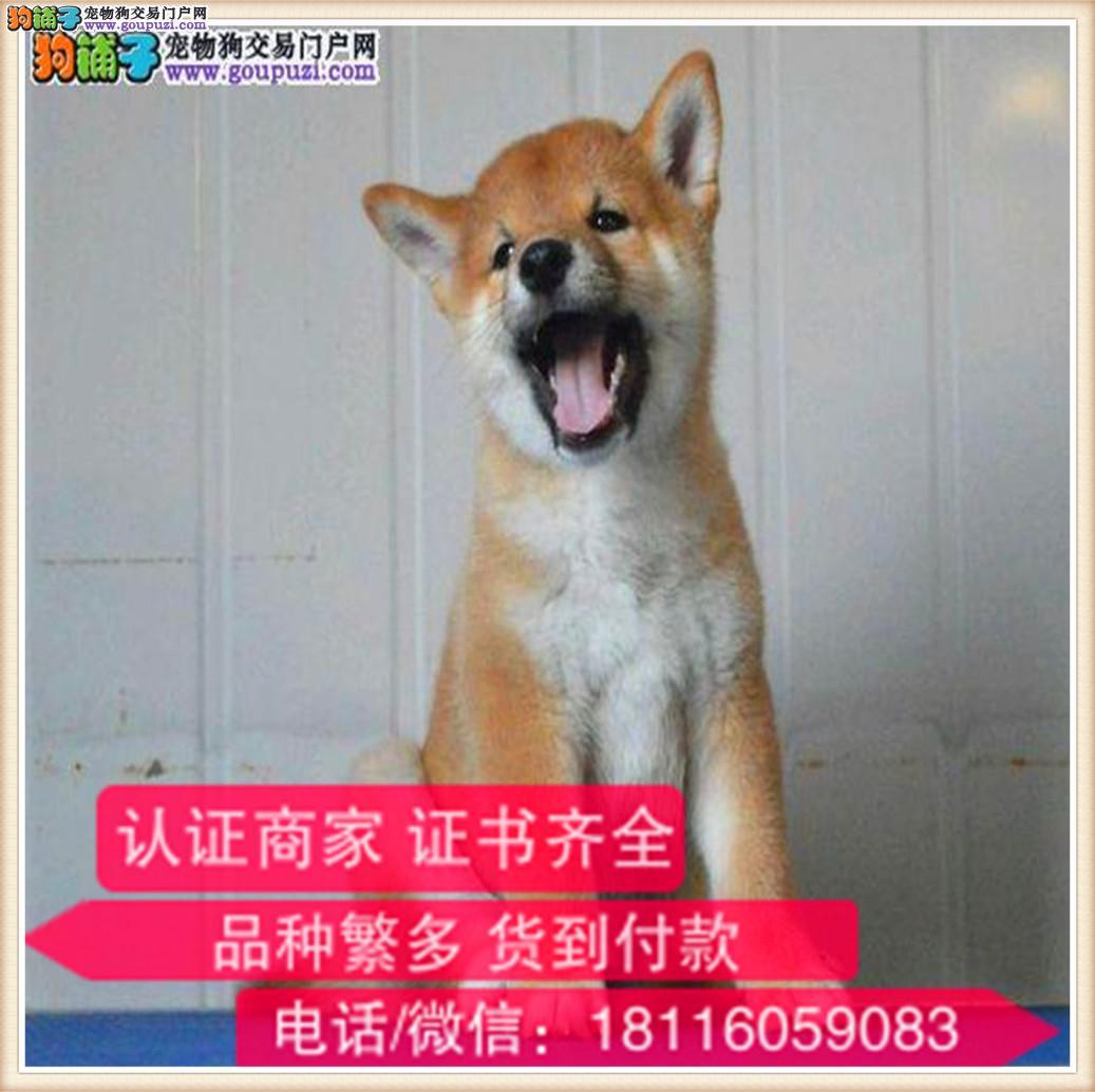 官方保障 纯种柴犬 健康有保障可签协议带证书犬舍直销
