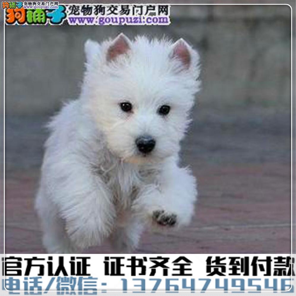 高端纯种西高地幼犬,全国送货包纯种签合同1