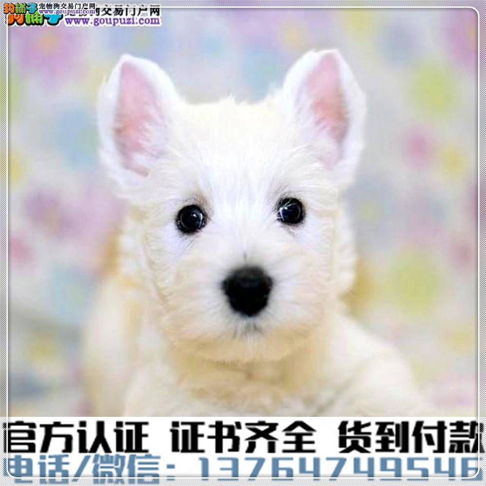 高端纯种西高地幼犬,全国送货包纯种签合同4