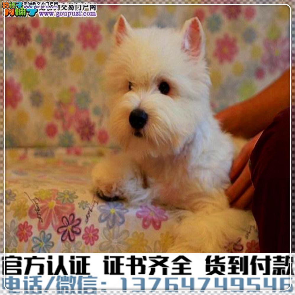 高端纯种西高地幼犬,全国送货包纯种签合同3