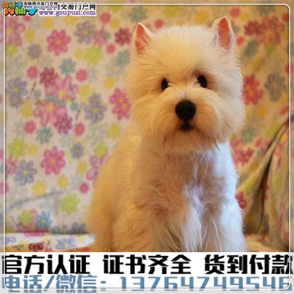 高端纯种西高地幼犬,全国送货包纯种签合同2