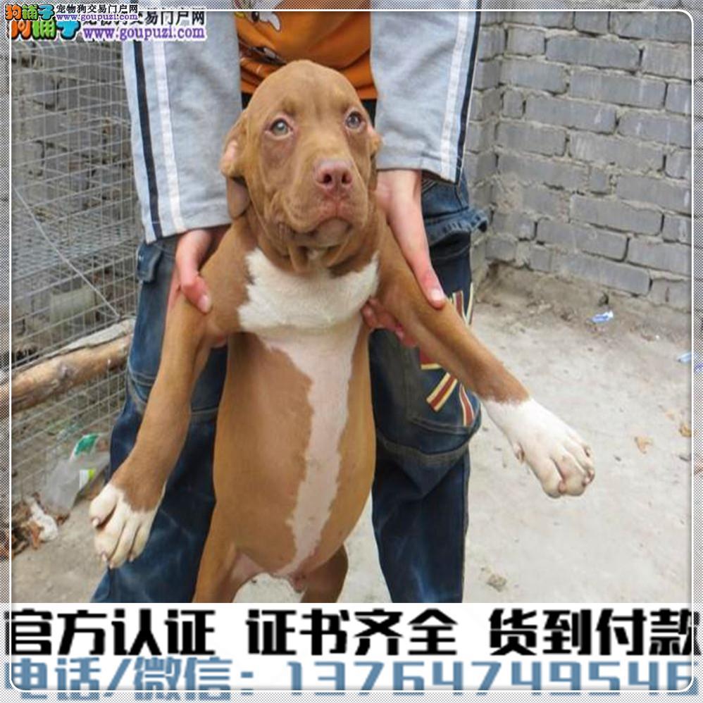 高端纯种比特幼犬,全国送货包纯种签合同
