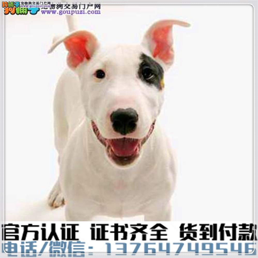 纯种牛头梗犬丨血统纯正健康包活丨签署质保合同
