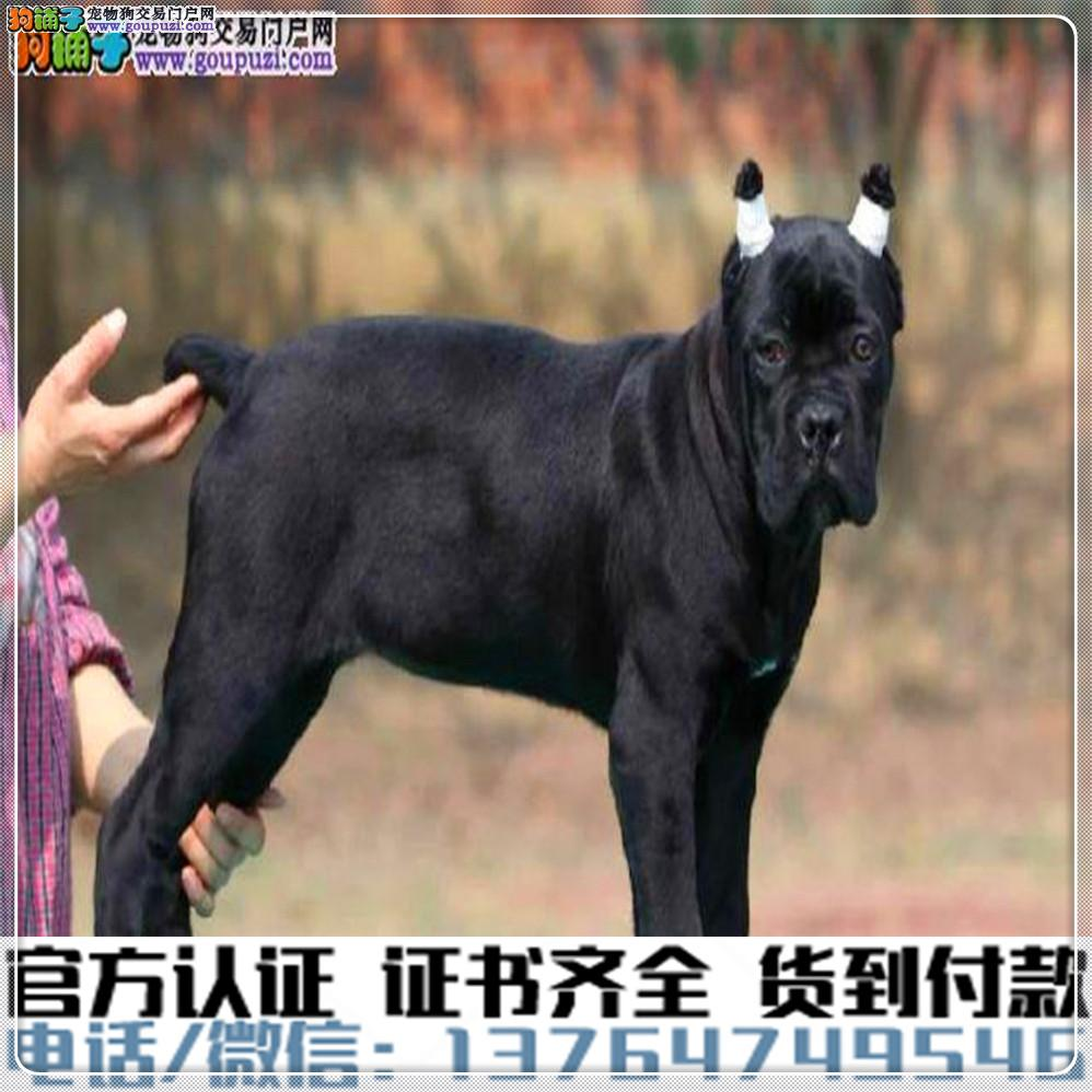 纯种卡斯罗犬丨血统纯正健康包活丨签署质保合同