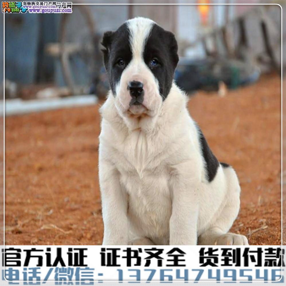 高端纯种 中亚牧羊幼犬,全国送货包纯种签合同