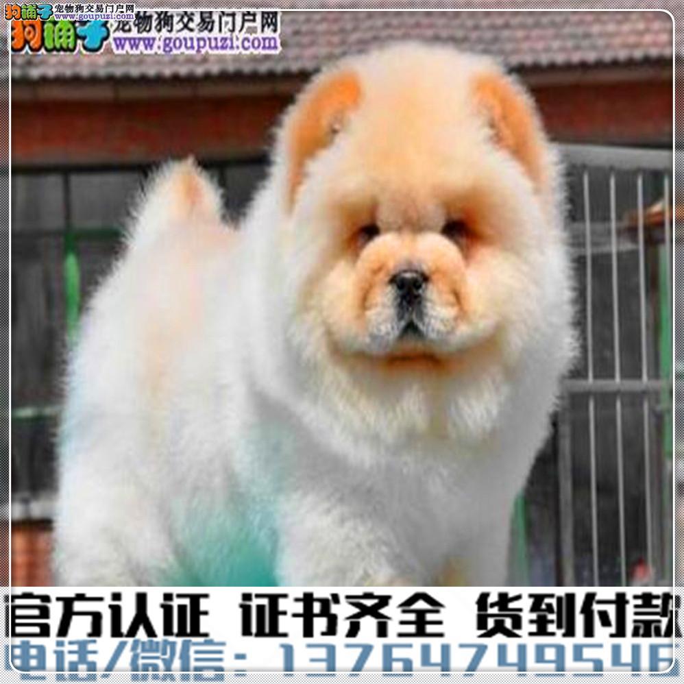 纯种 松狮犬丨血统纯正健康包活丨签署质保合同
