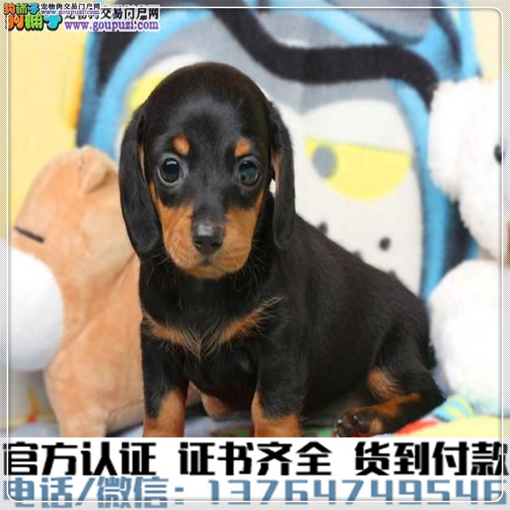 纯种 腊肠犬丨血统纯正健康包活丨签署质保合同