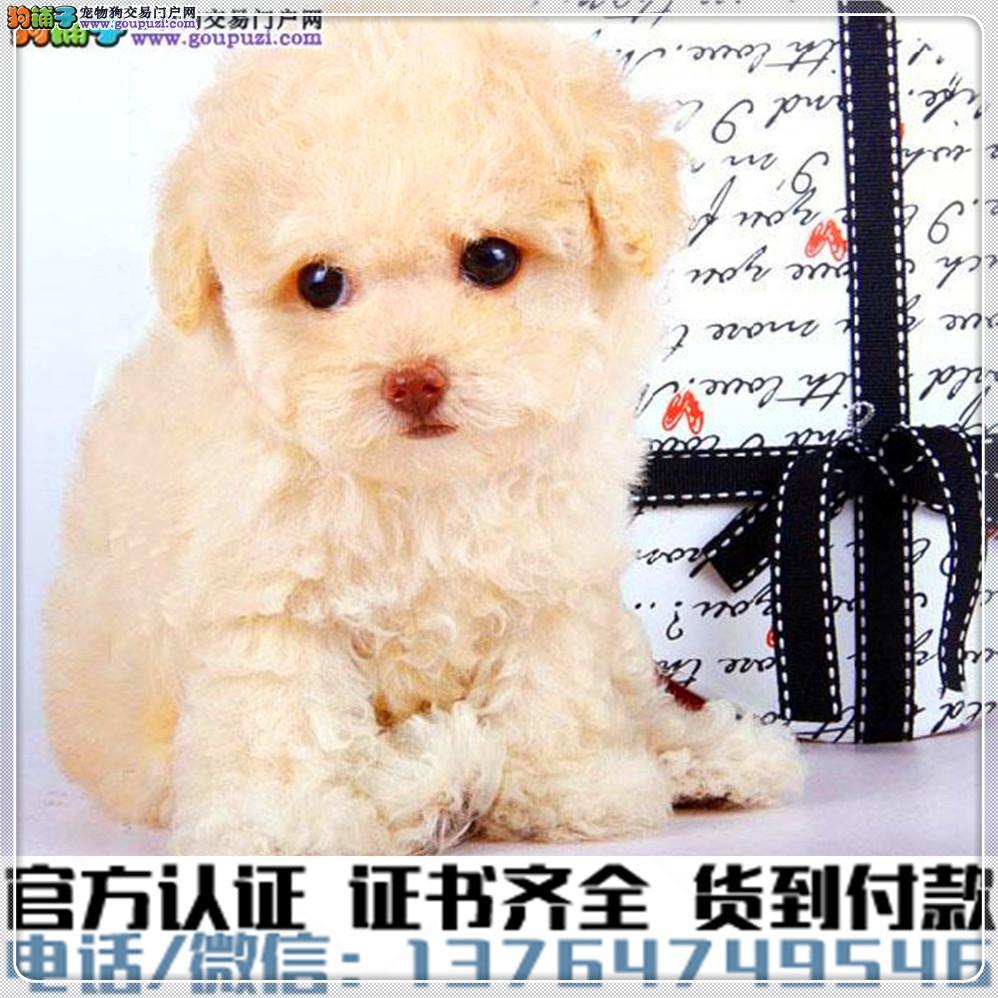 犬舍直销纯种泰迪犬疫苗齐全赠送全套宠物用品