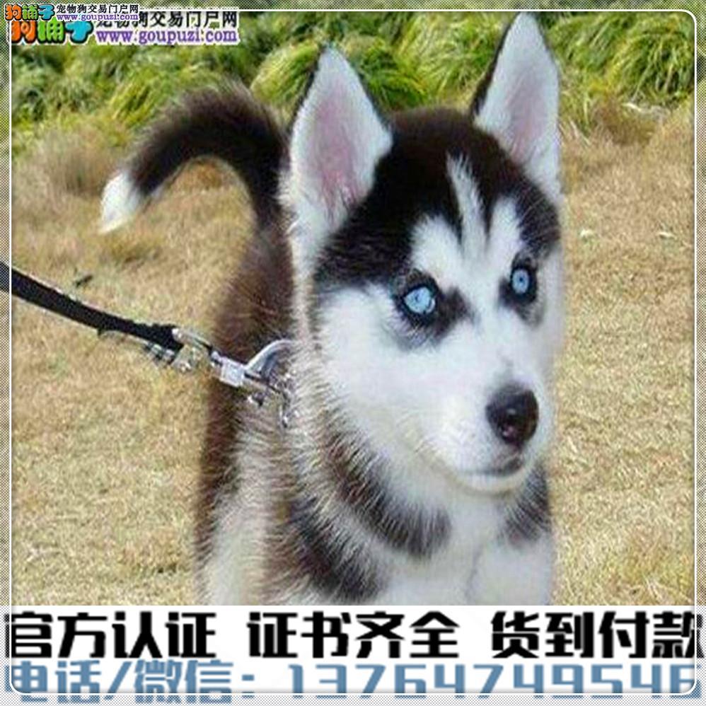 犬舍直销纯种哈士奇幼犬疫苗齐全赠送全套宠物用品