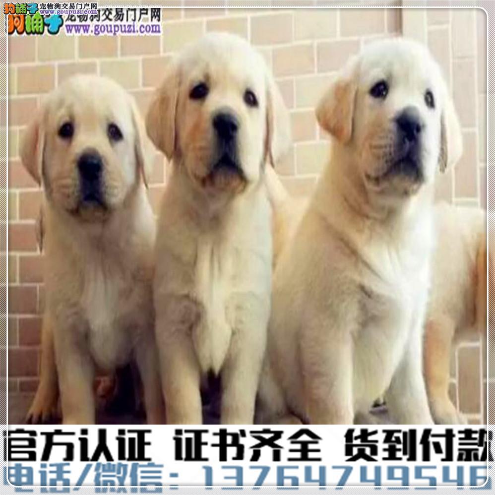 犬舍直销:纯种拉布拉多疫苗齐全赠送全套宠物用品