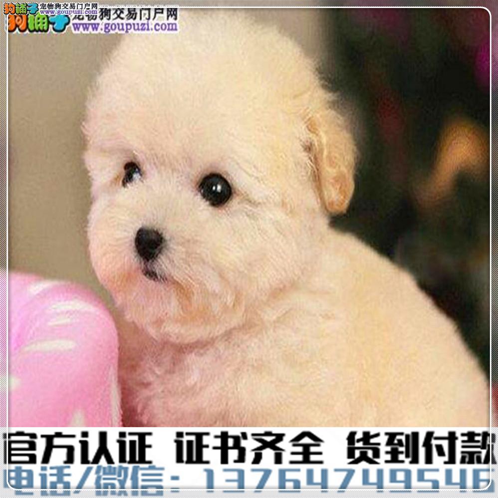 官方保障犬舍繁殖纯种泰迪 纯种健康养活 可签协议.1