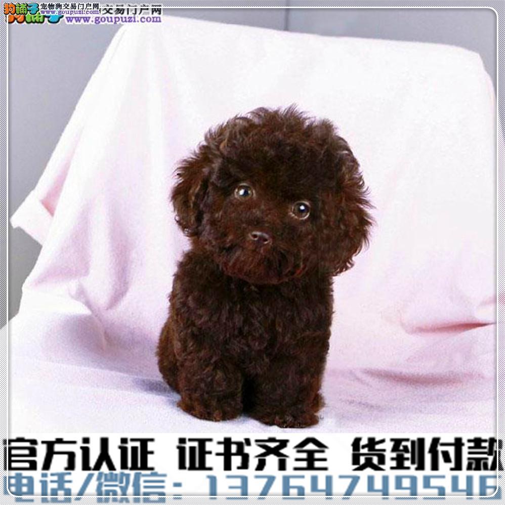 官方保障犬舍繁殖纯种泰迪 纯种健康养活 可签协议.3
