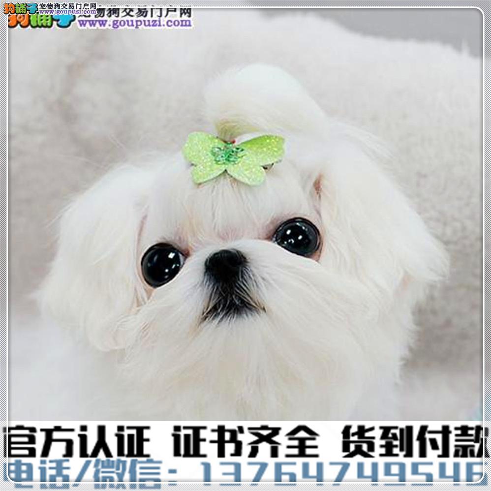 犬舍繁殖纯种马尔济斯纯种健康养活可签协议