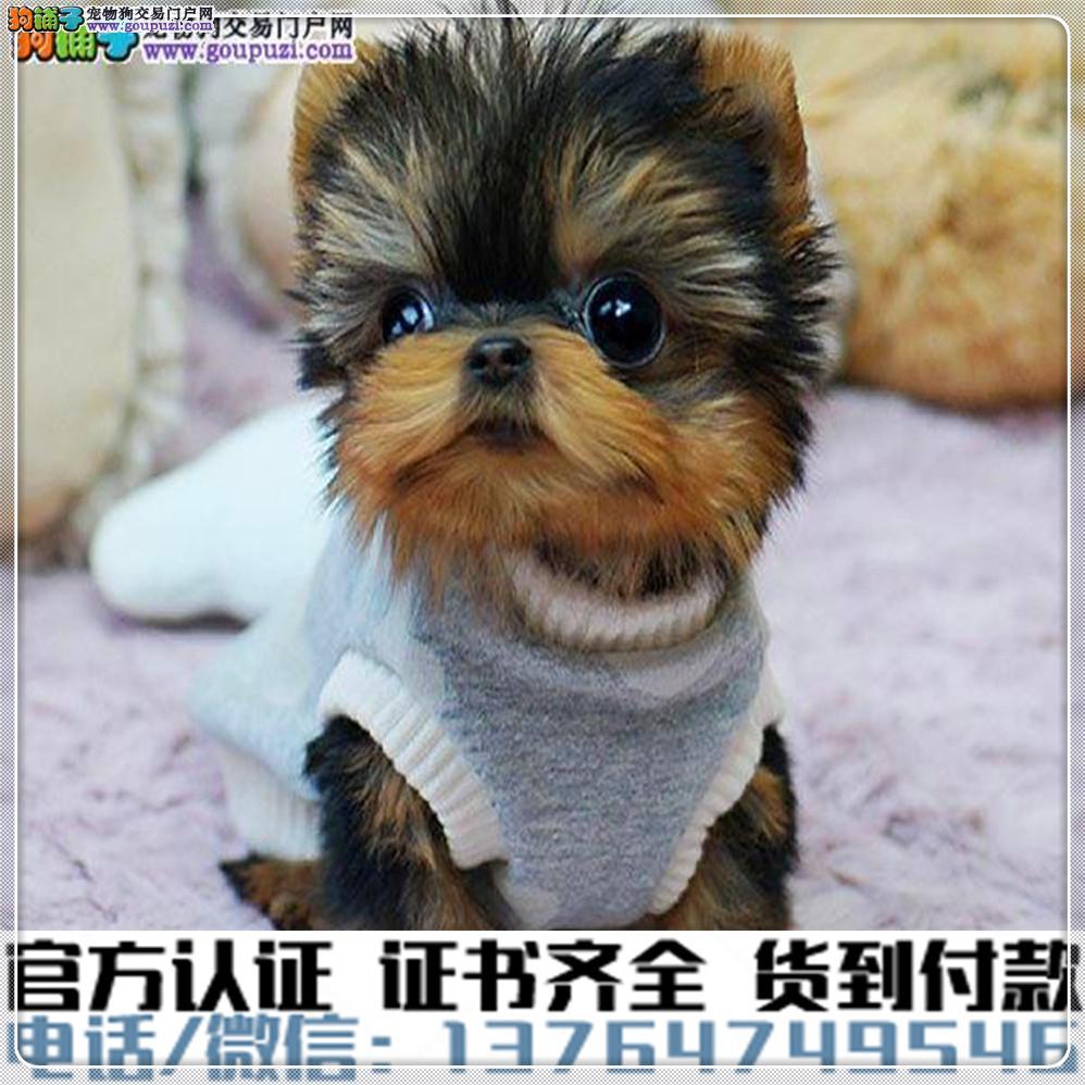 犬舍繁殖纯种约克夏纯种健康养活可签协议