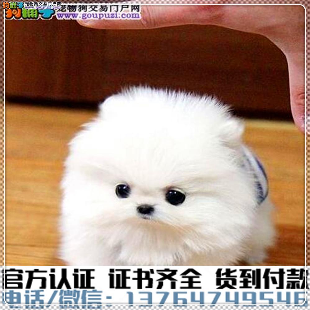 专业繁殖茶杯犬 血统纯种 可实地挑选 免费送到家3