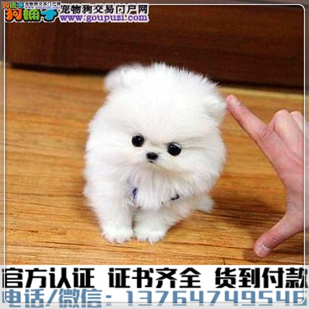 专业繁殖茶杯犬 血统纯种 可实地挑选 免费送到家4