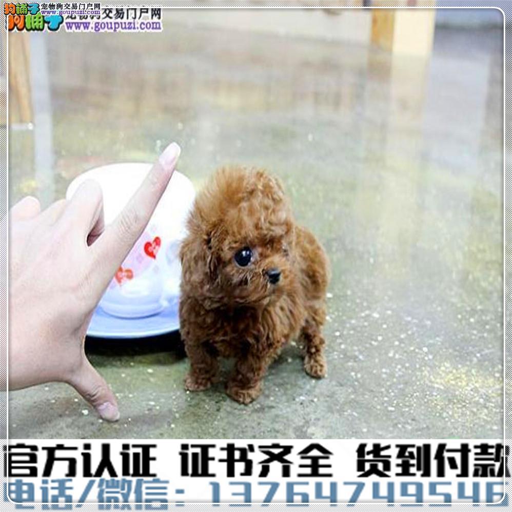 专业繁殖茶杯犬 血统纯种 可实地挑选 免费送到家2