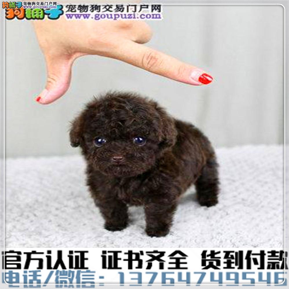 专业繁殖茶杯犬 血统纯种 可实地挑选 免费送到家1