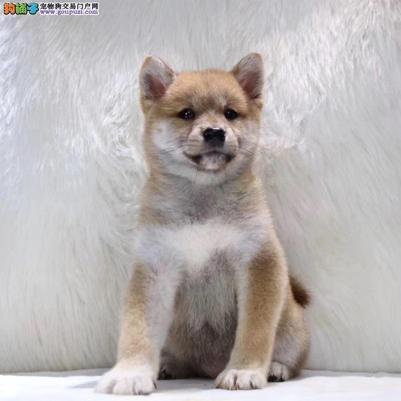 诚信第一 品质官方保障 纯种精品日本柴犬包健康