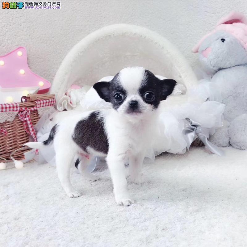 热销精品吉娃娃幼犬体内外驱虫疫苗齐全包健康