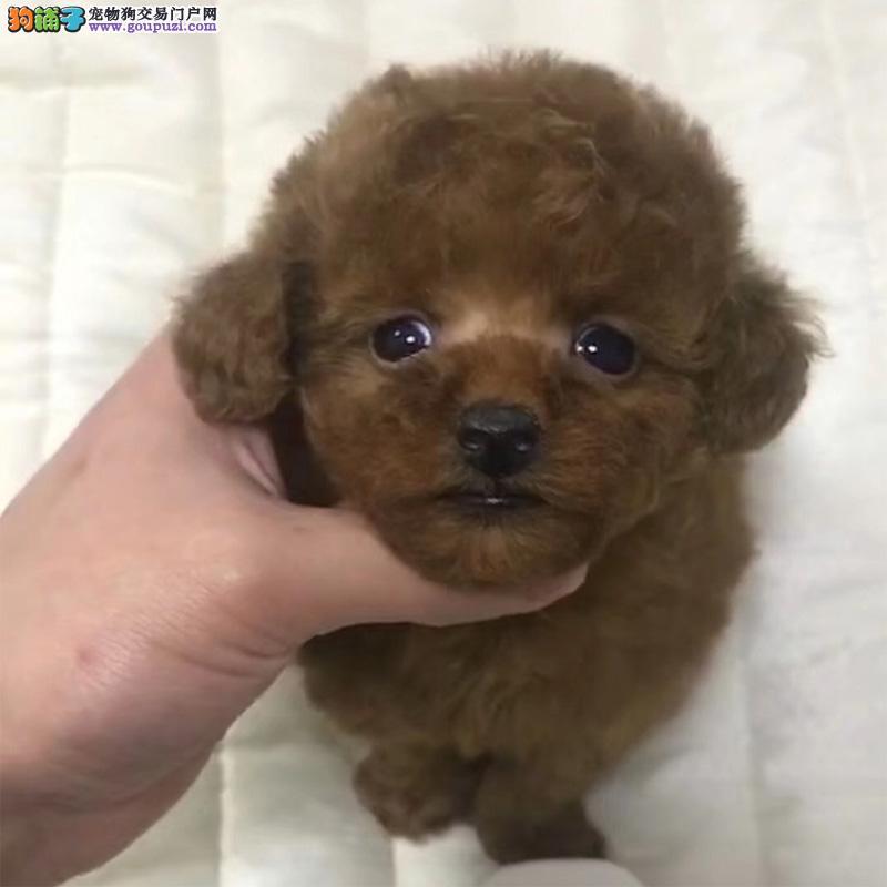 专业繁殖极品贵宾幼犬已做驱虫疫苗齐全
