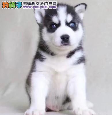 长期繁殖蓝眼三火哈士奇 各类纯种名犬 包养活