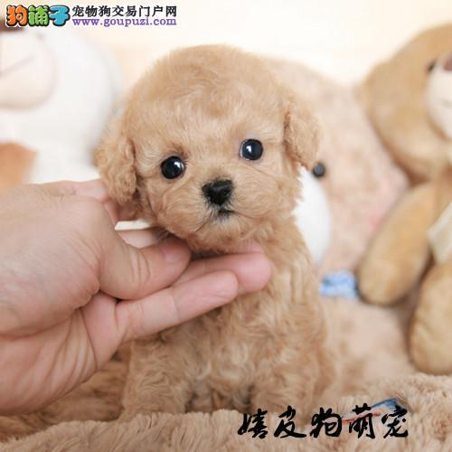 泰迪 纯种泰迪犬 泰迪幼犬 活体 宠物狗