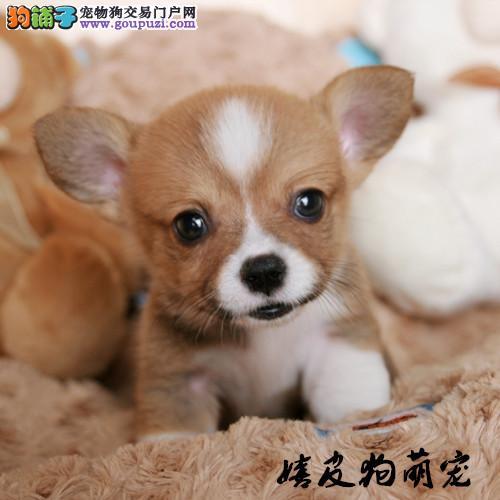 柯基犬 威尔士柯基犬 纯种幼犬小短腿宠物狗