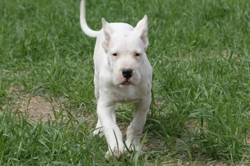 专业繁殖杜高犬 赛级双血统大骨架重头版阿根廷杜高犬