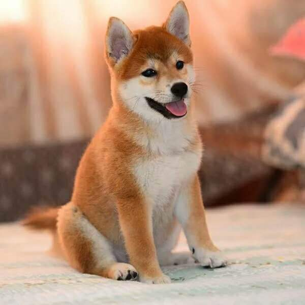 CKU犬舍 长期出售 日本柴犬 纯种健康 货到付款