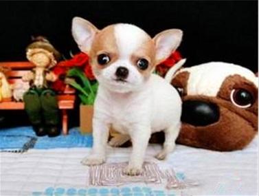 800/只 长期出售 吉娃娃犬 纯种健康 货到付款