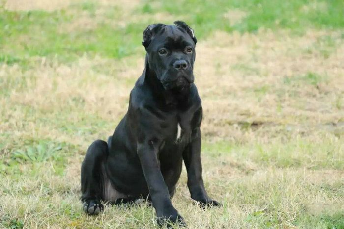 官方保障|犬舍繁殖纯种卡斯罗 纯种健康养活 可签协议