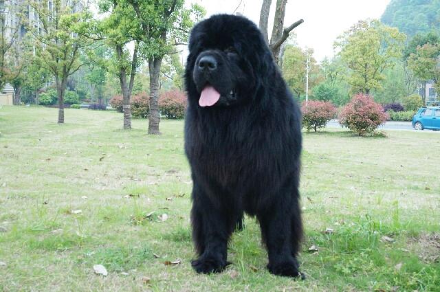 顶级优秀的纯种纽芬兰犬热卖中优惠出售中狗贩子勿扰
